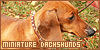 Canines : Miniature Dachshunds